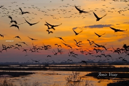 The Sandhill crane migration at Rowe Sanctuary
