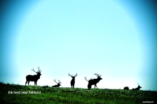 Elk herd near Ashland